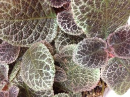 Episcia 'Jim's Lemon Zest'